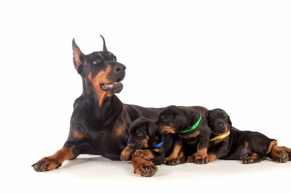 hembra de dóberman con sus cachorros
