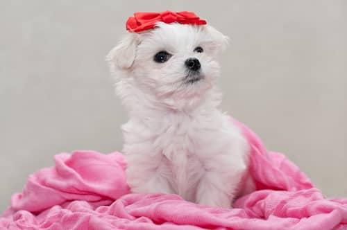Nombre para hembra de maltés cachorro