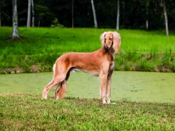 Perro árabe marrón