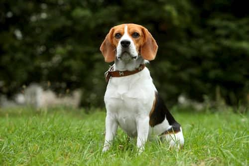 Beagle macho sentado en la hierba
