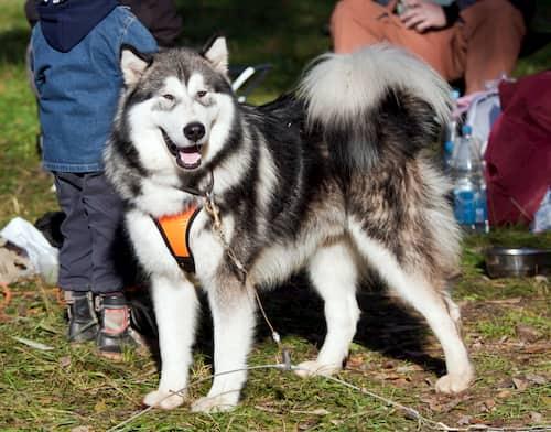 Perro alaska  con su familia en el parque
