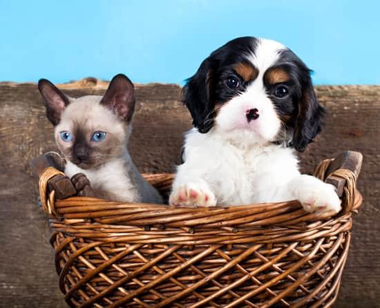 Cachorro blanco y negro junto a una gatita hembra