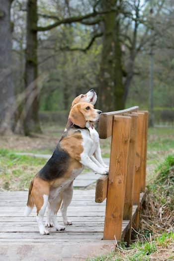 Perros beagle en un puente de madera