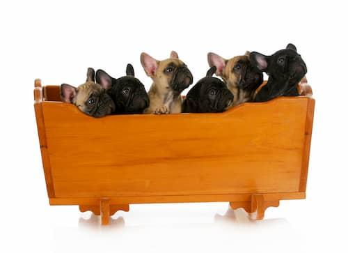 Cachorros de bulldog francés en un macetero