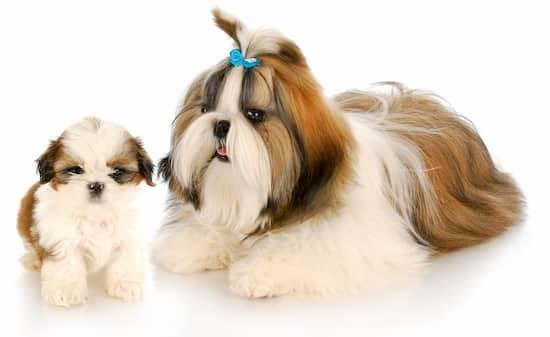 Hembra y cachorro shih tzu