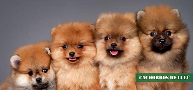 cachorros de lulú de pomerania