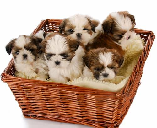 Nombres para cachorros shih tzu