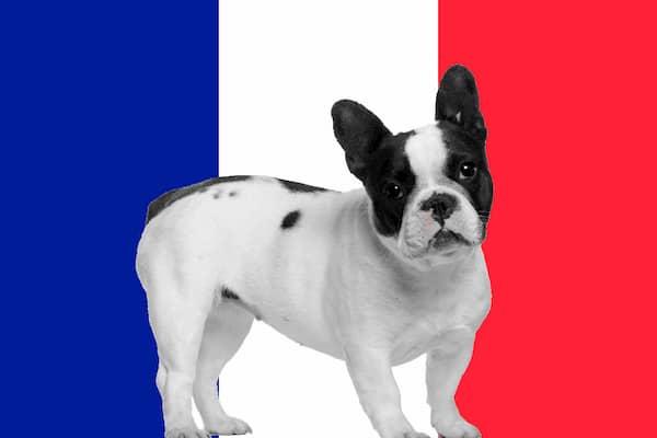 Bulldog francés con bandera de francia de fondo