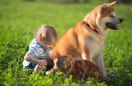 perro akita con un bebé