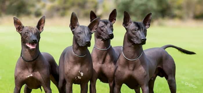 Perros aztecas