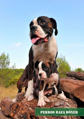 perros raza bóxer