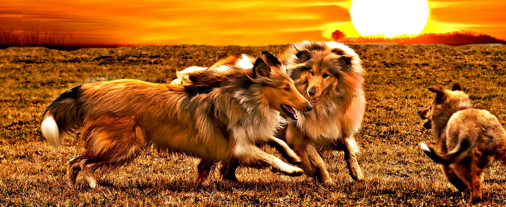 Perros coreanos en el monte