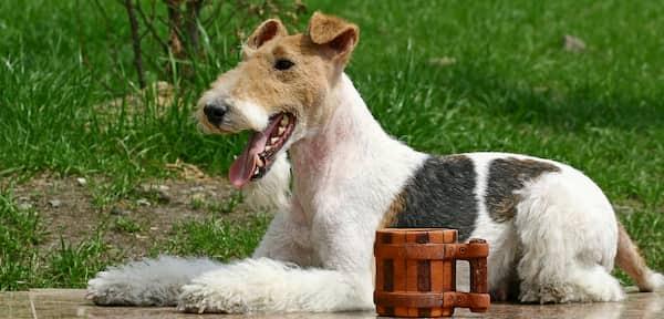 Nombres rusos para la raza wire fox terrier