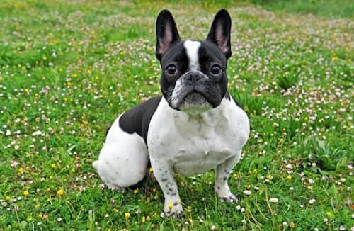 bulldog francés blanco y negro