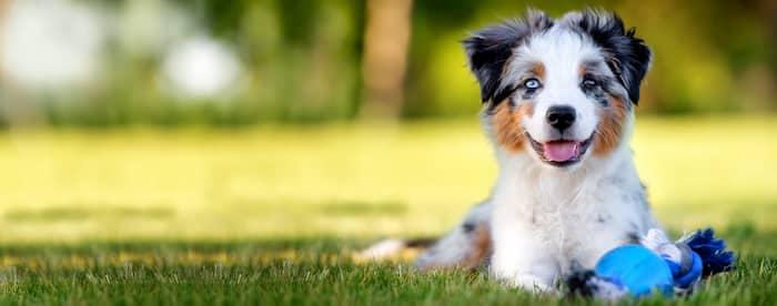 Precioso cachorro australiano