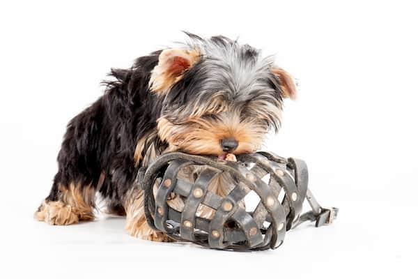 Cachorro hembra de yorkshire