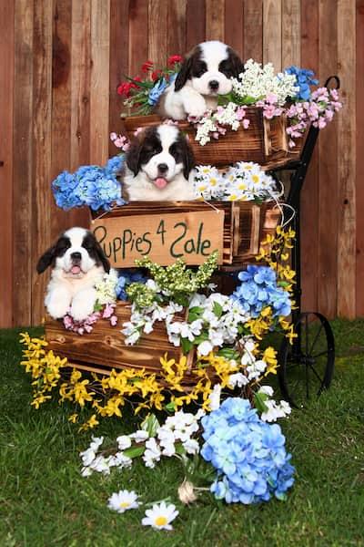 Cachorros de San bernardo en un macetero