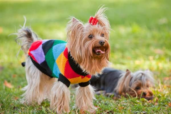 Macho y hembra de yorkshire terrier
