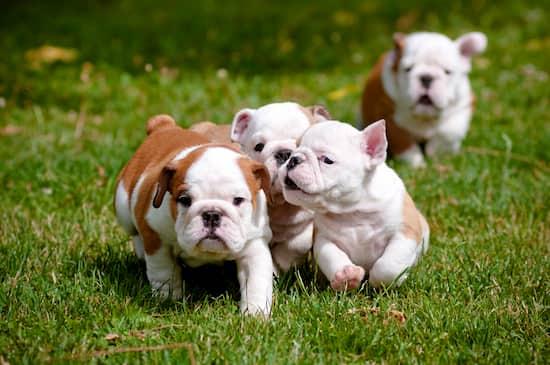 Nombres cachorros de bulldog inglés