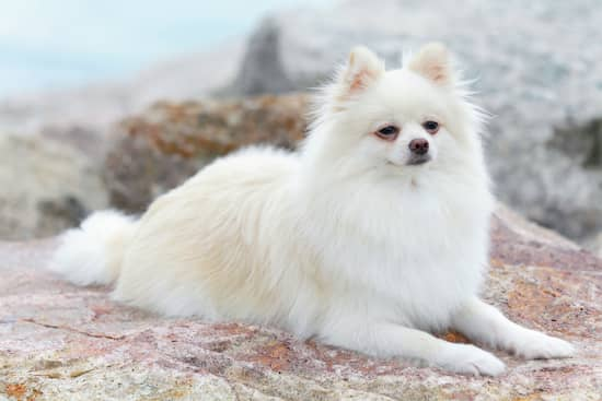 pomerania hembra color blanco