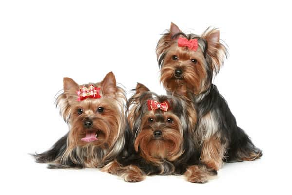 Tres yorkshire terrier adultos