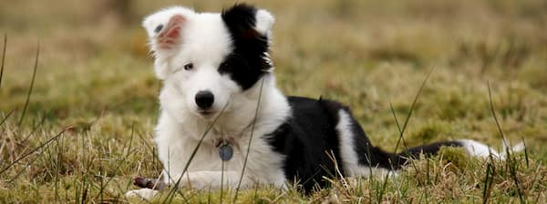 cachorro border collie blanco y negro