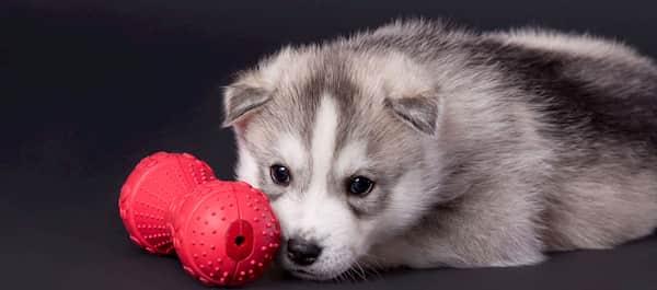 cachorro macho husky siberiano