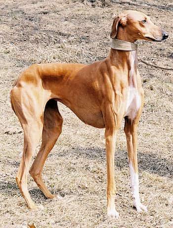 nombres de perros africanos