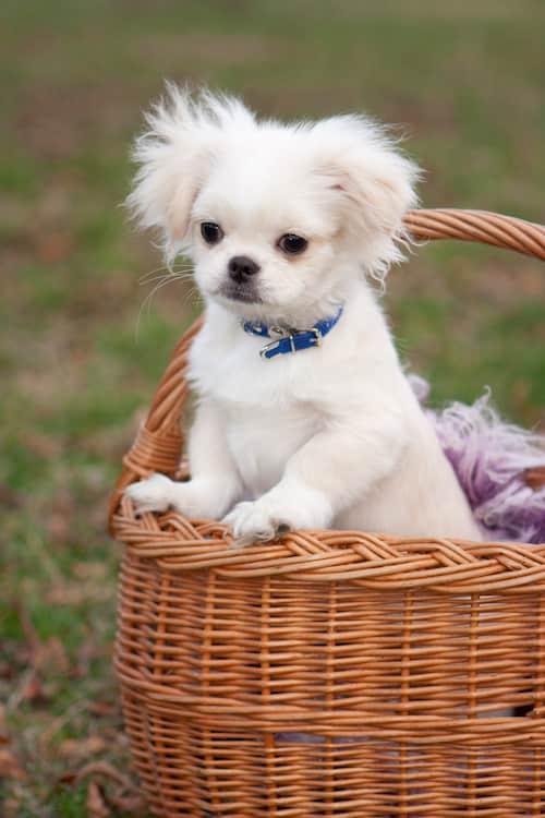 pekinés cachorro