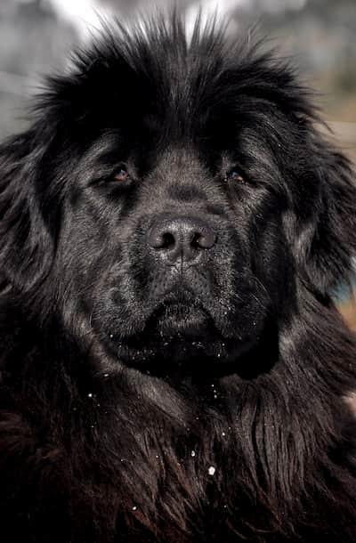 perro raza terranova pelo negro