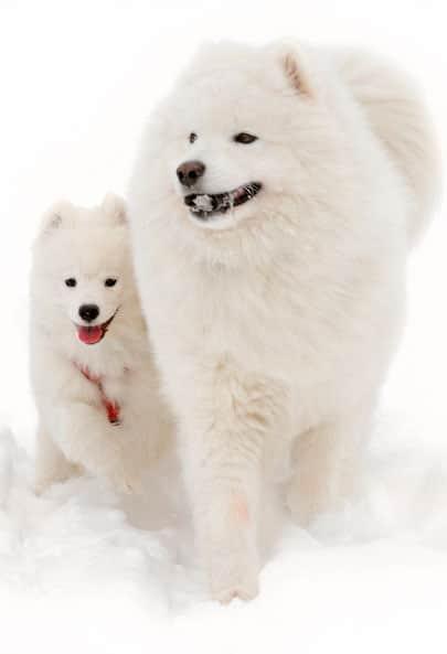 samoyedo madre y cachorro
