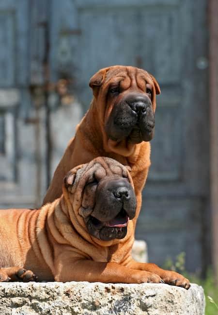 shar pei perro imponente