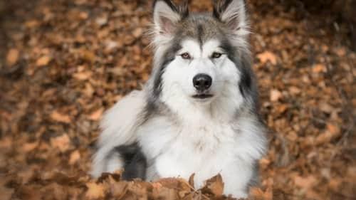 perros lobos machos