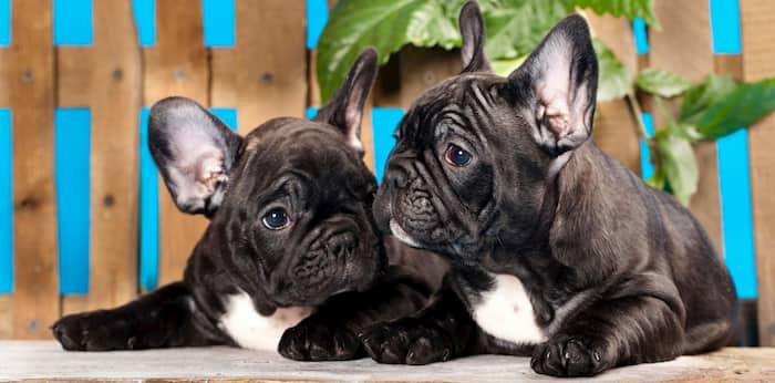 pareja de perros bulldog francés