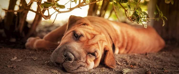 nombres para perros shar pei