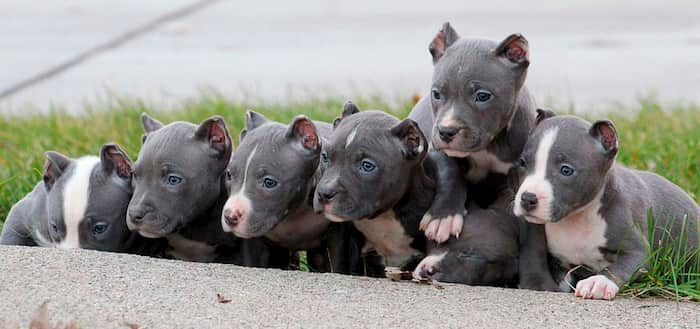 cachorros de bully