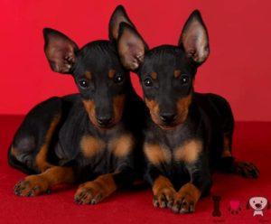 dos perros europeos