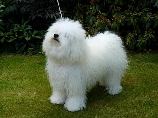 perro de raza bichón boloñes