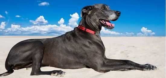 mejores nombres para perros gran danés