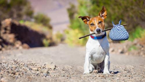 perro brasileño con una bolsa