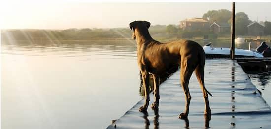 perro de raza gran danés