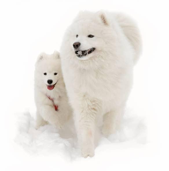 dos perros raza samoyedo