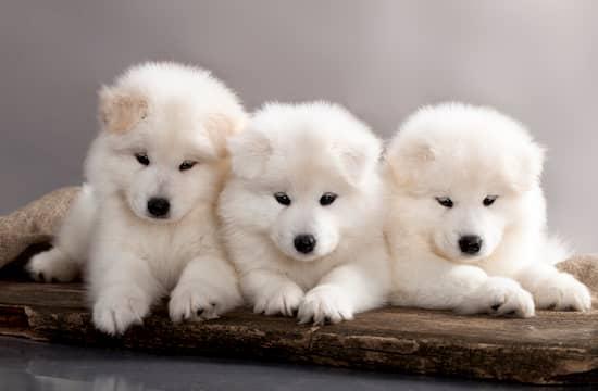 tres cachorros samoyedo
