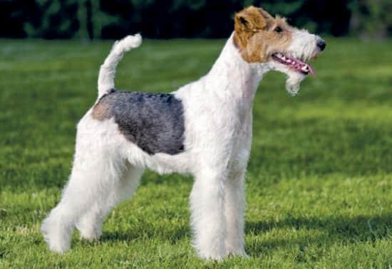 macho de fox terrier