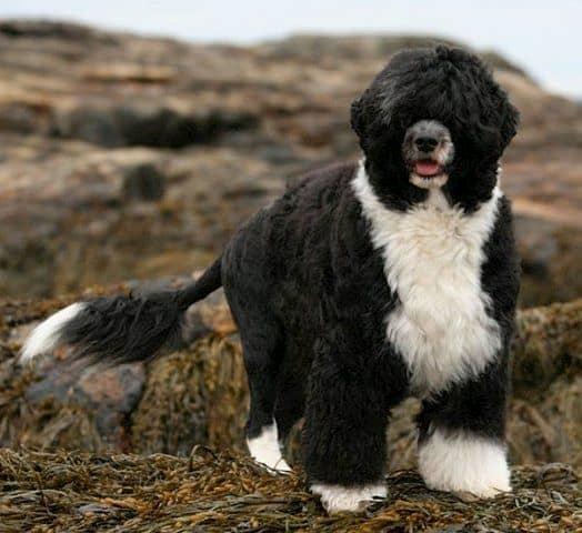 perro de agua negro y blanco