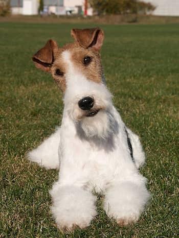 precioso ejemplar de fox terrier