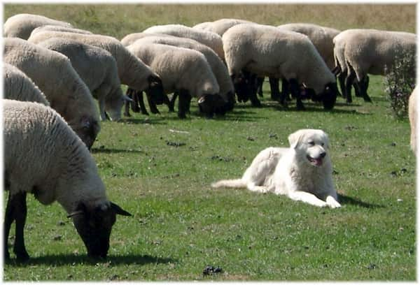 hembra de raza ovejero tumbada