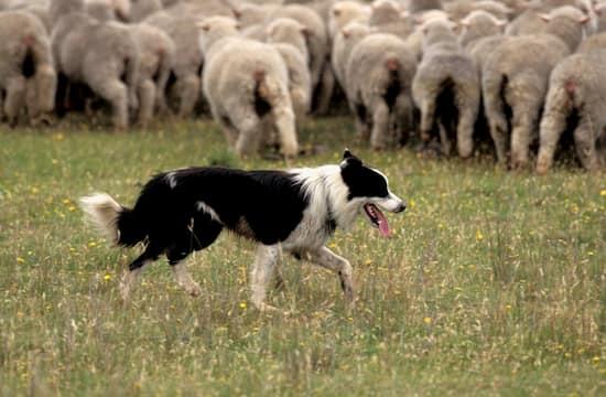 nombres para perros ovejeros