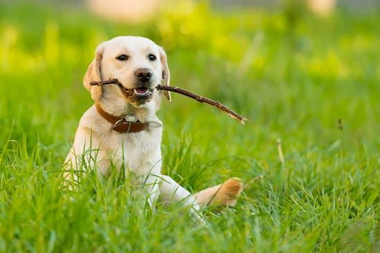 cachorro de labrador retriever en el jardín