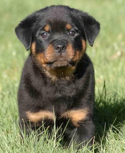 nombre para cachorro macho de rottweiler